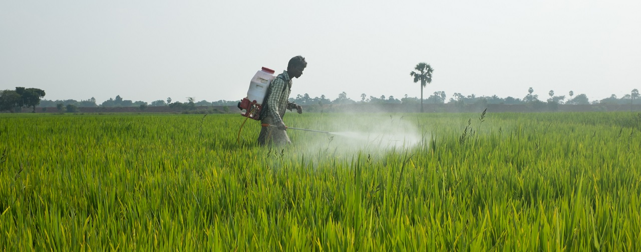 A young worker in the rice fields of Andhra Pradesh, India sprays chemical pesticides in his mother-in-law's fields. The CKDnT epidemic largely affects rural and poor agricultural and mining communities. (Photo: Tom Laffay)