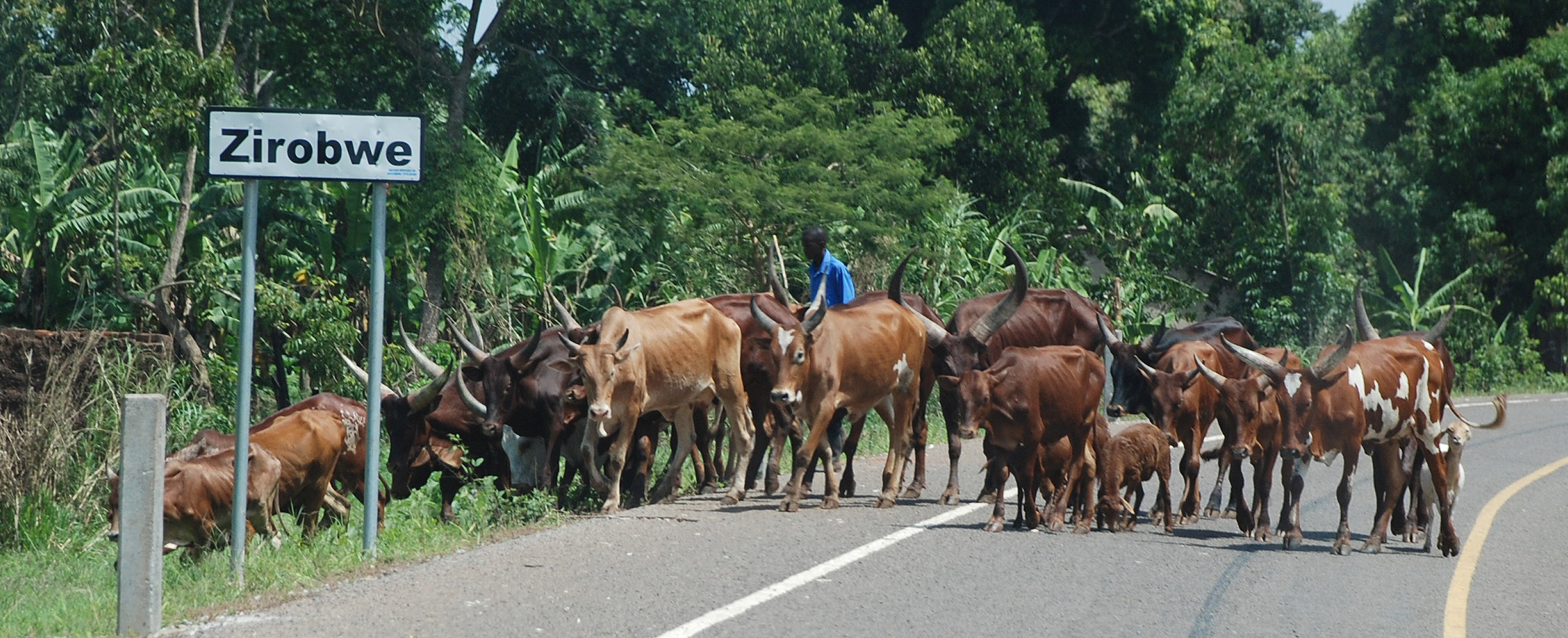 Cattle on the road in Luwero