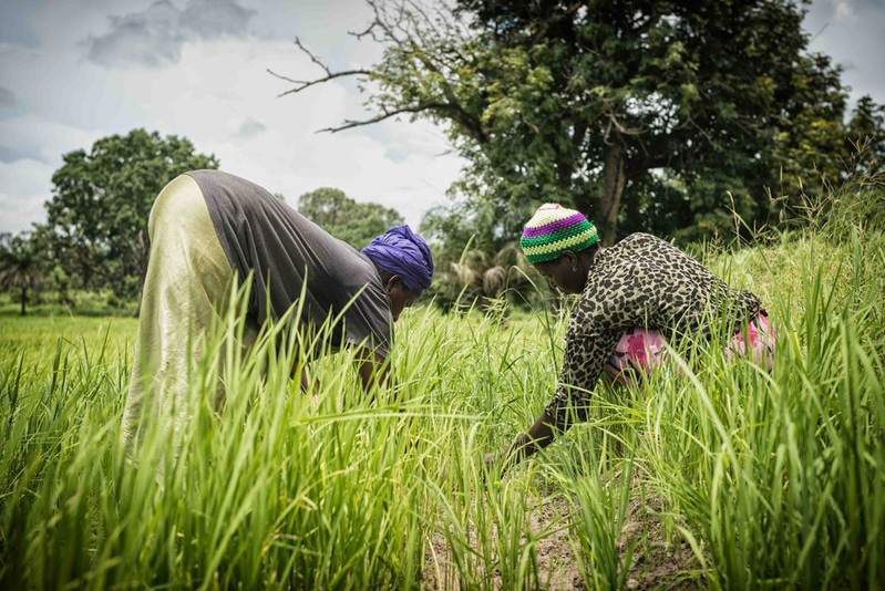 Caption: Women working in a field in Gambia. Credit: MRC Unit the Gambia at LSHTM