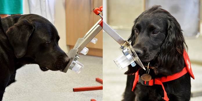 Sniffer dogs detecting the presence of infection in a sample