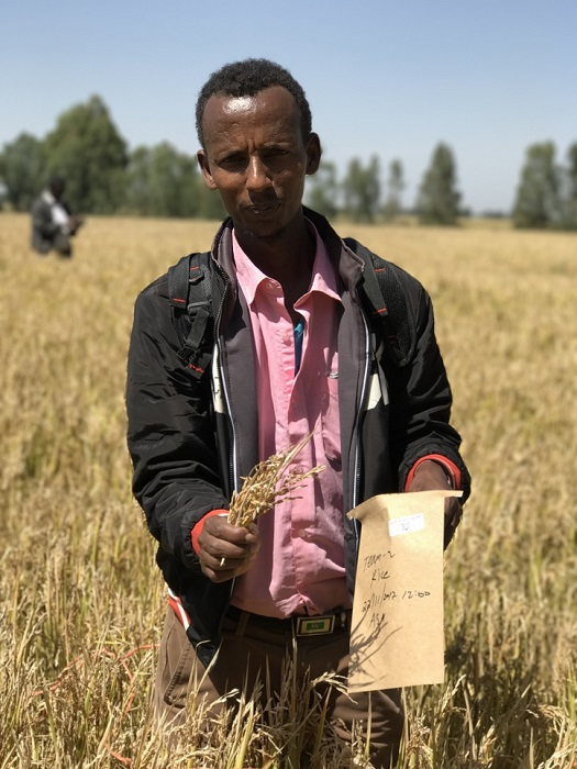 Caption: A sample of rice taken in a field in Amhara Region, Ethiopia. Pictured: Asresakagn Asele. Photo credit: Martin Broadley, University of Nottingham @martinbroadley
