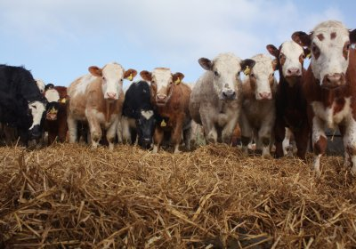 Reducing antibiotics to strengthen intensive and industrial livestock farming? AMR and agri-food transitions in the age of Anthropocene