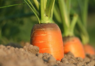 Caption: carrot growth. Credit: Pixabay