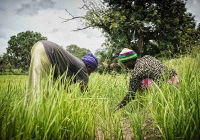 Caption: Women hard at work harvesting their rice crops in rural Gambia Women harvesting their rice crops in rural Gambia. Credit: LSHTM