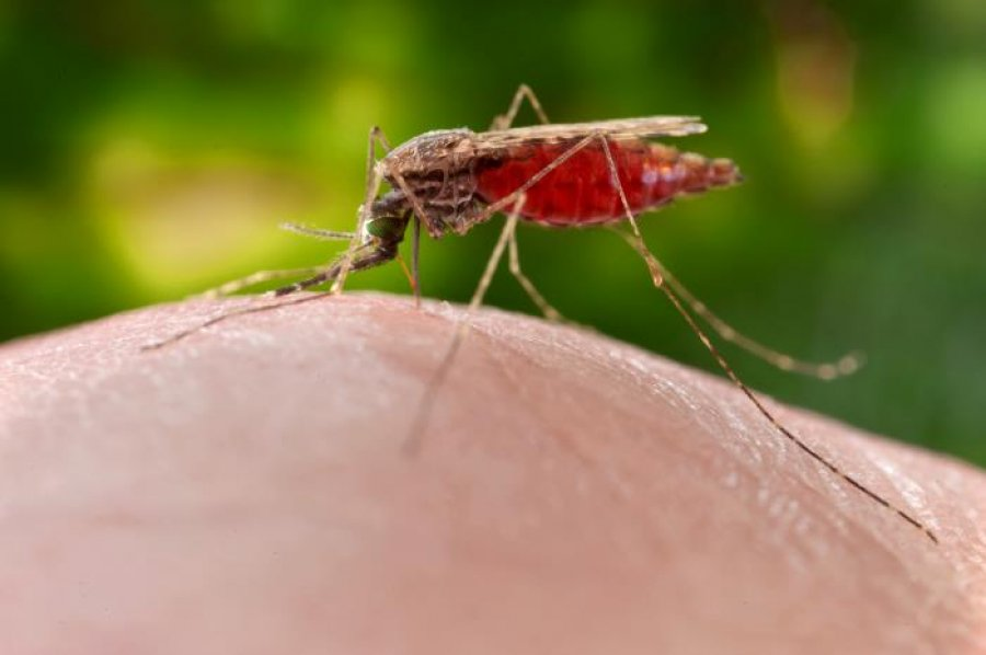 Caption: female Anopheles merus mosquito. Credit: CDC/James Gathanay