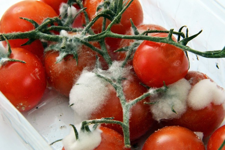 Caption: Rotting tomatoes Credit: Pixabay