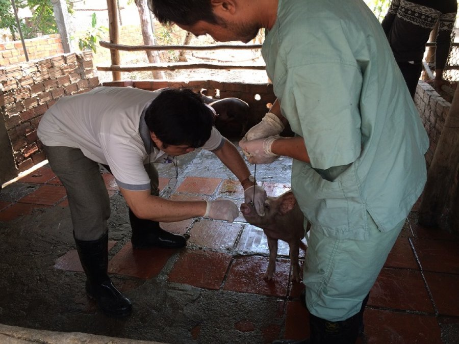 Caption: Field technicians from the National Animal Health and Production Research Institute in Cambodia collect a nasal swab from a pig as part of a pilot study Credit: James Rudge