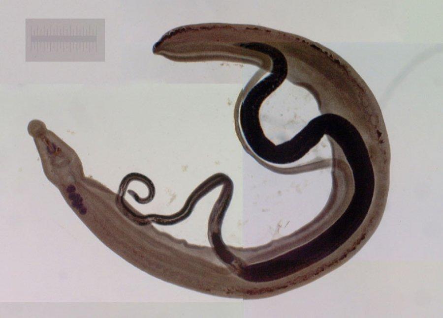 Schistosoma_Japonicum.