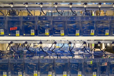 Tanks containing adult zebrafish. Credit: James Sykes